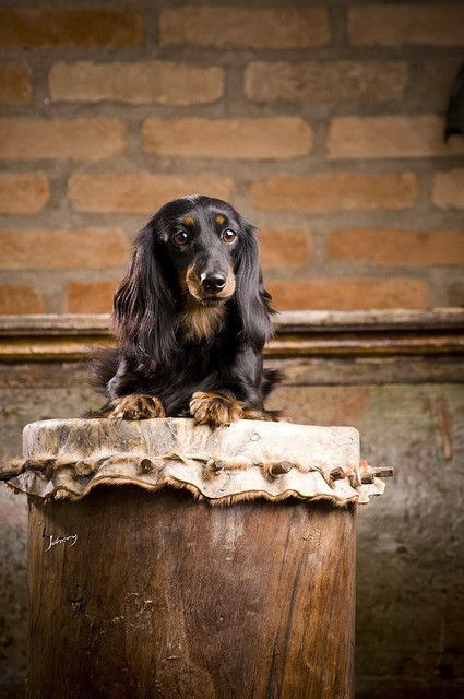 doxie portrait 4 #cute #dachshund