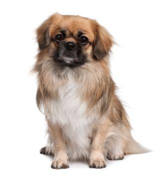 Tibetan Spaniel Dog Breeds Spaniel Breeds Tibetan Spaniel