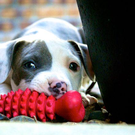 My Dog Fancy Baby Pitbulls Puppy Puppylove Doglovers