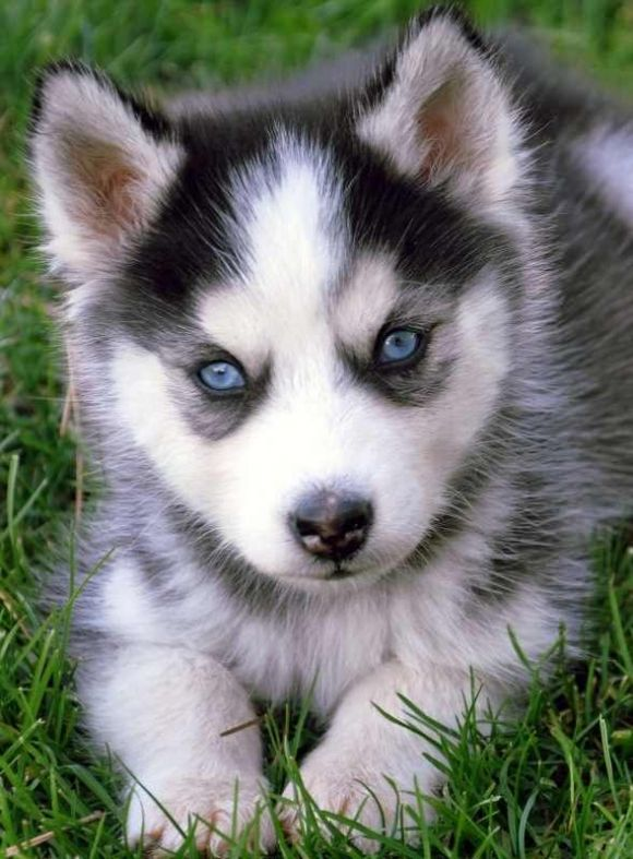 Little Baby I Want A Husky In The Worst Wayyy With