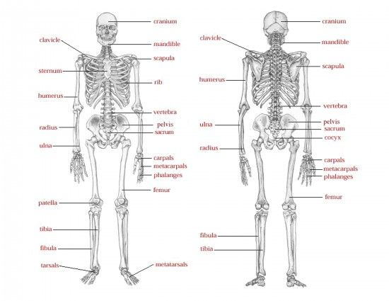 Game: Skelton Says. Supplies: a paper or plastic skeleton