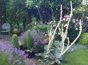 verbascum bombyciferum 10 caroline benedict smith garden design cheshire