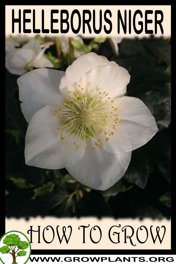 How to grow Helleborus niger  All gardening information grow and care amount of water sun exposure planting season blooming season hardiness zone height of the plants pru...