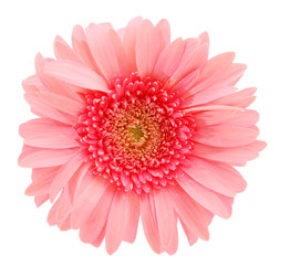 Pink Gerber Isolated On White Background Buy This Stock Photo And Explore Similar Images At Adobe Stock Adobe Stoc Pink Daisy Daisy Flower White Background