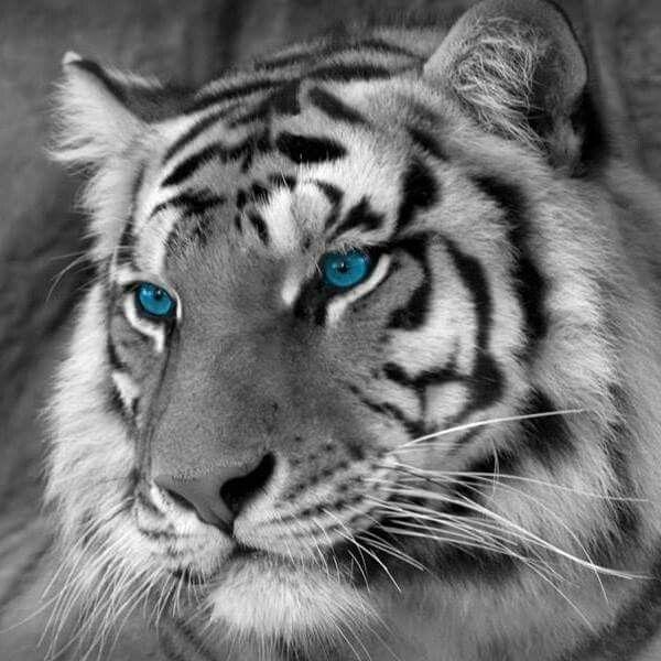 Aaron Loved White Tigers Pet Tiger White Bengal Tiger Tiger Images