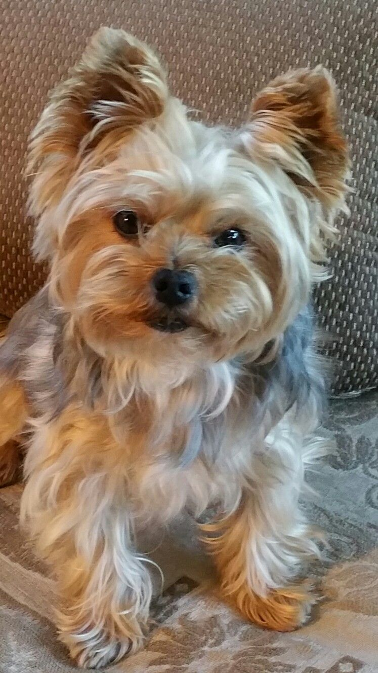 Pin By Gloria Bolling On Yorkshire Terrier Yorkie Dogs Top Dog Breeds Yorkshire Terrier