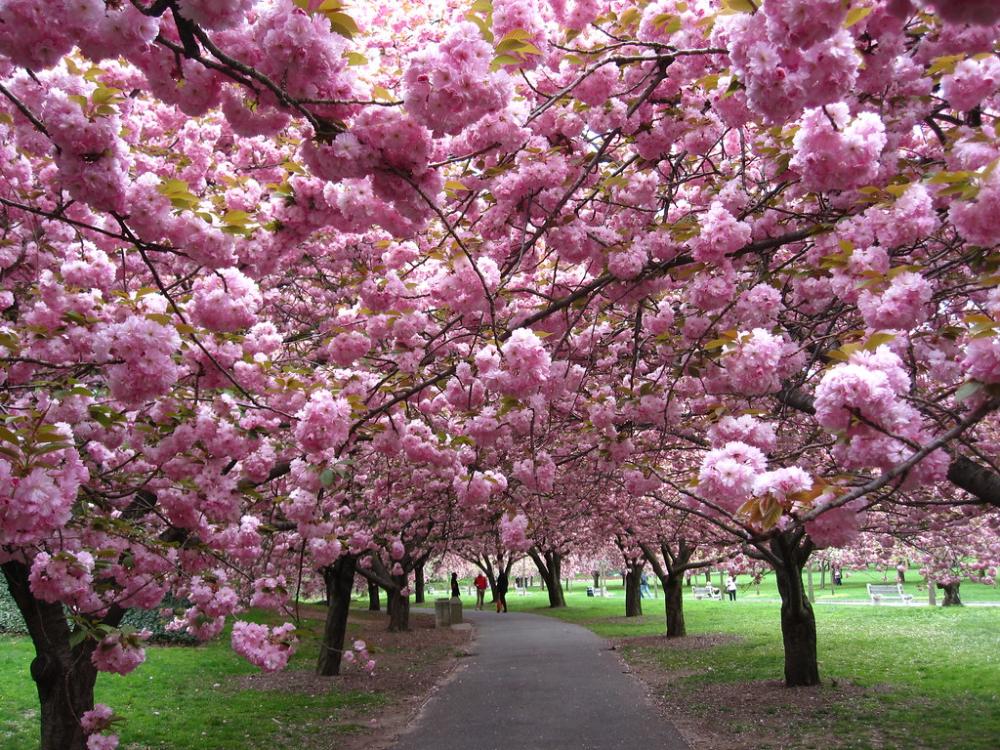 Flowering Cherry Collection Faq Botanical Gardens Australian Garden Cornwall Garden