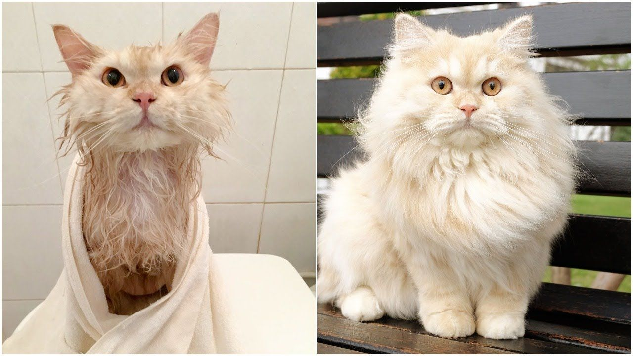 Meet Meepo, The Cat Who Loves Taking Showers Cats, Cat