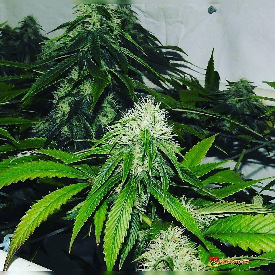 Biker Kush AKA Hells Angel OG by Karma Genetics  in scrog  http://ift.tt/1VTsTeE  OR TAP LINK IN BIO @howtogrowweed420  #weed #marijuana #cannabis #medicalmarijuana #mmj #ogkush #og #loud #dank #hydroponics #aeroponics #howtogrowweed #growingweed #420dotcom #howtogrow #howtogrowweedindoors #karmagenetics  #awardwinningcircle #karma_squad_strong