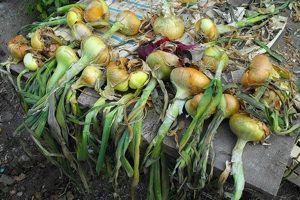 Oignon - Séchage | Jardinage, Cultiver