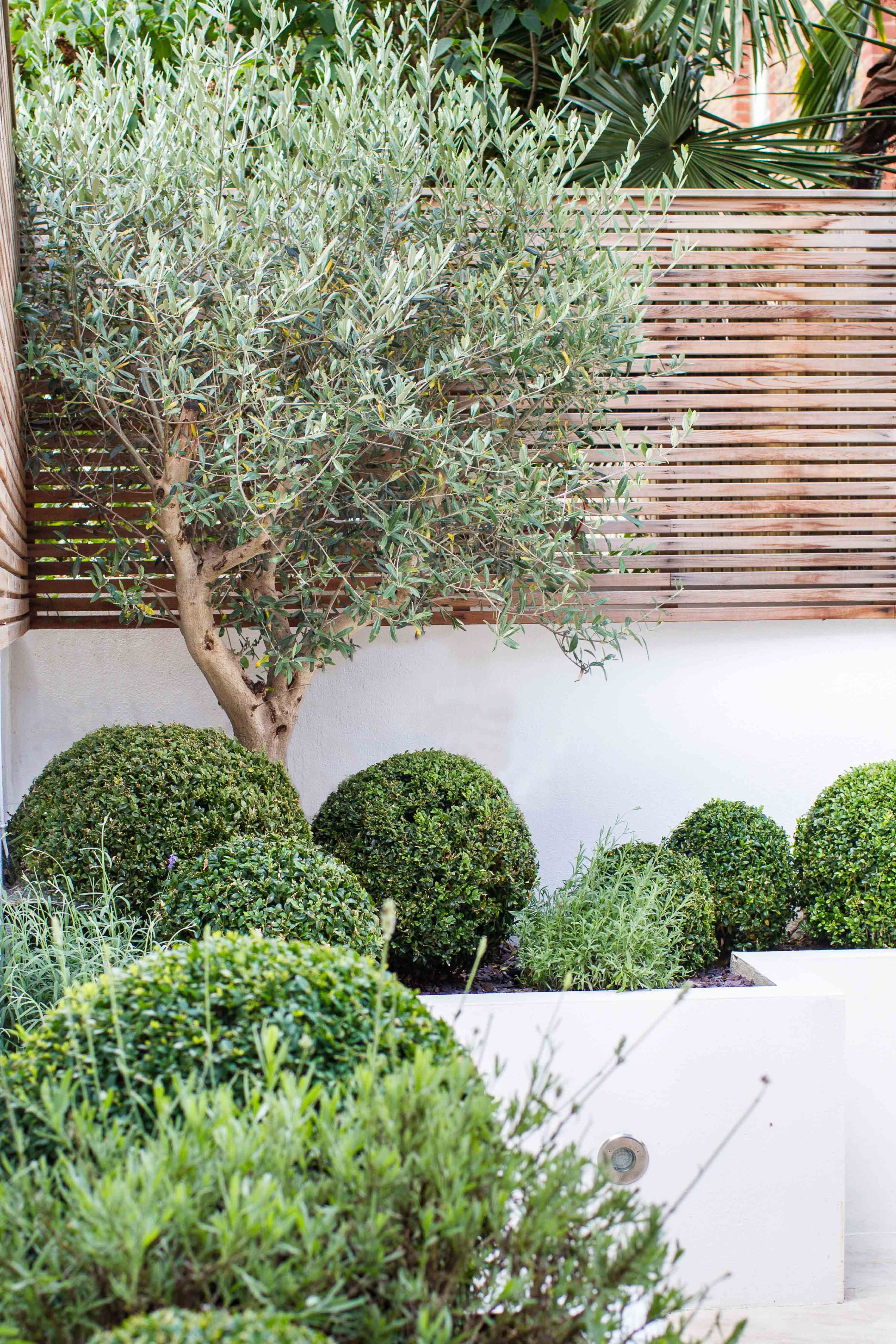 olive tree in raised planter with box balls and lavender  contemporary slatted trellis on top of