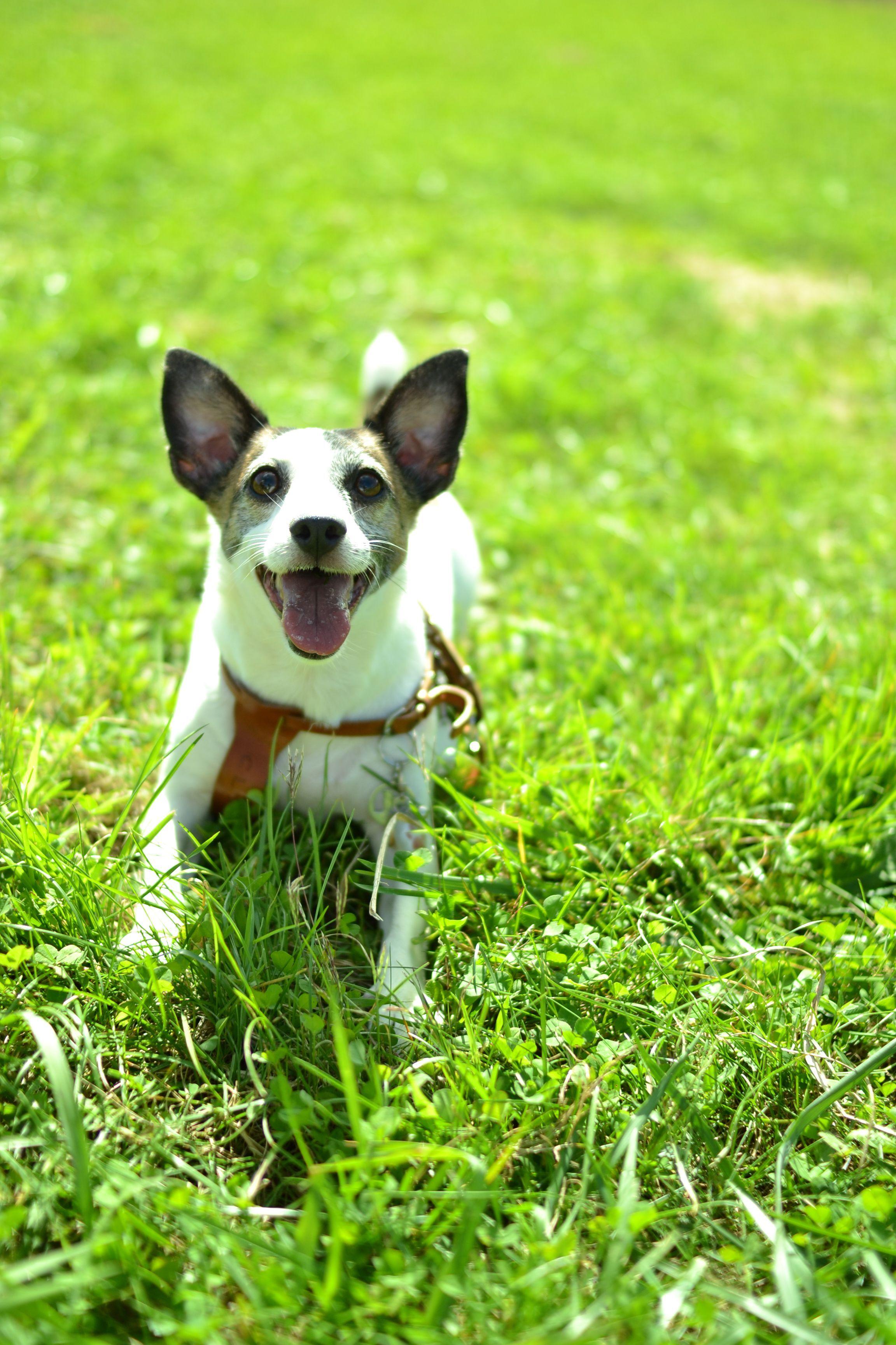 お名前 クリップ ちゃん 神奈川県在住 ジャック ラッセル テリア メス 6歳 我が家の小さな怪獣です 自分の事をたぶん犬と思っておらず 犬が苦手 なぜか若いイケメンが大好き 自分の体の数倍もある ジャックラッセルテリア ワンコ 犬