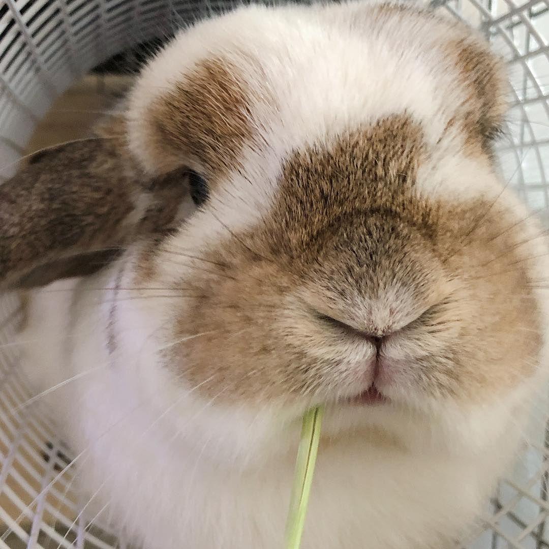 キャラメルみるく On Instagram ごはんたべたあとは チモシーで シーハー つまようじ おじさん風 ホーランドロップ うさぎ うさぎのいる生活 うさぎ部 ふわもこ部 うさぎのいる暮らし うさぎと暮らす Small Pets Cute Animals Bunny