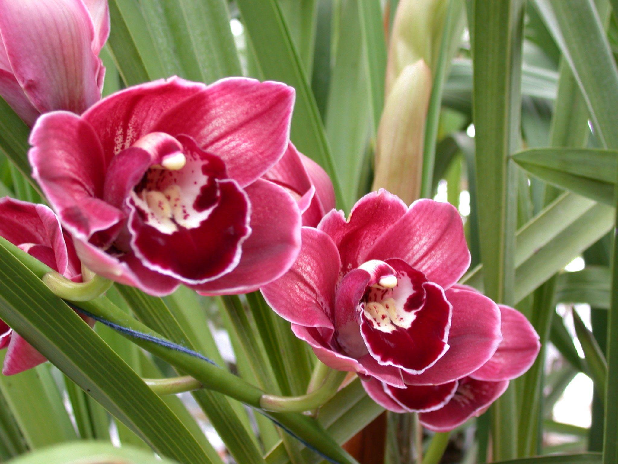 A And B Larsen Orchids Cymbidium Rolf Bolin Red Velvet Dscn4712 Jpg 2048 1536 Flower Garden Design Orchids Orchid Flower