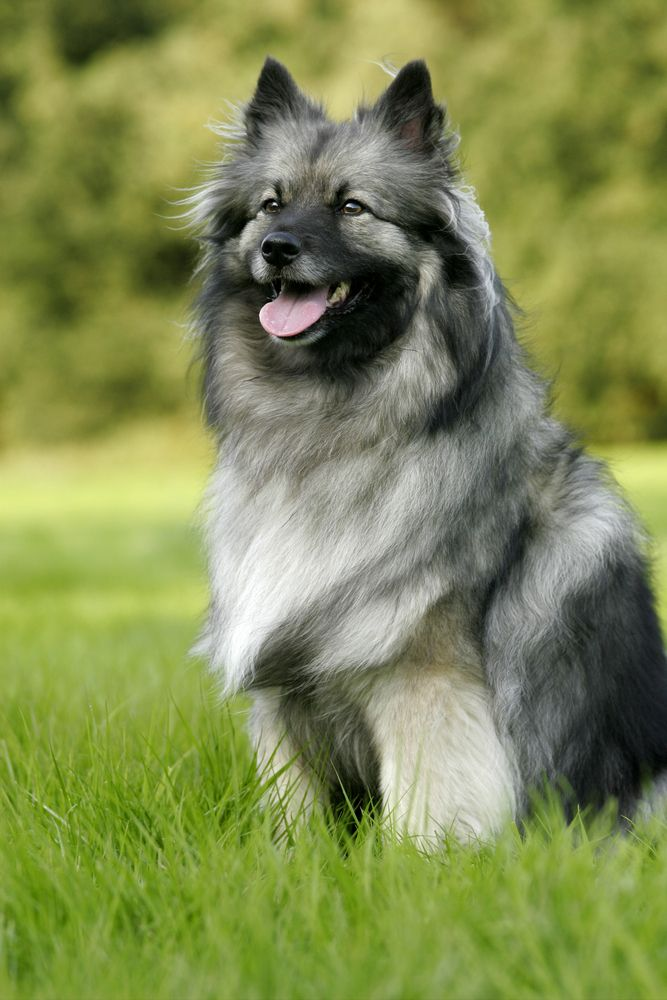 Keeshond And Cats Easiest: Keesho...