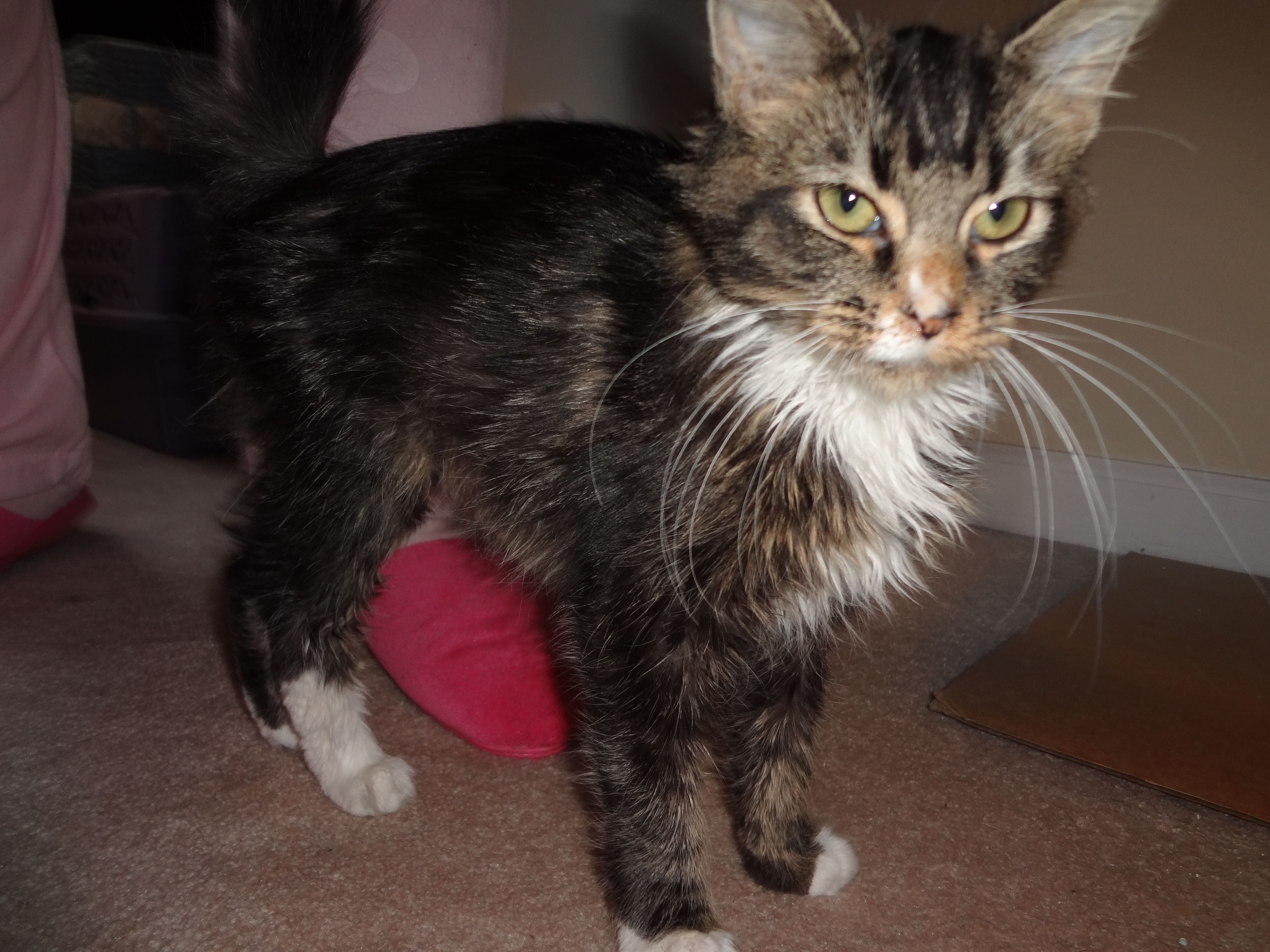 Pin On Only Maine Coons Rescue