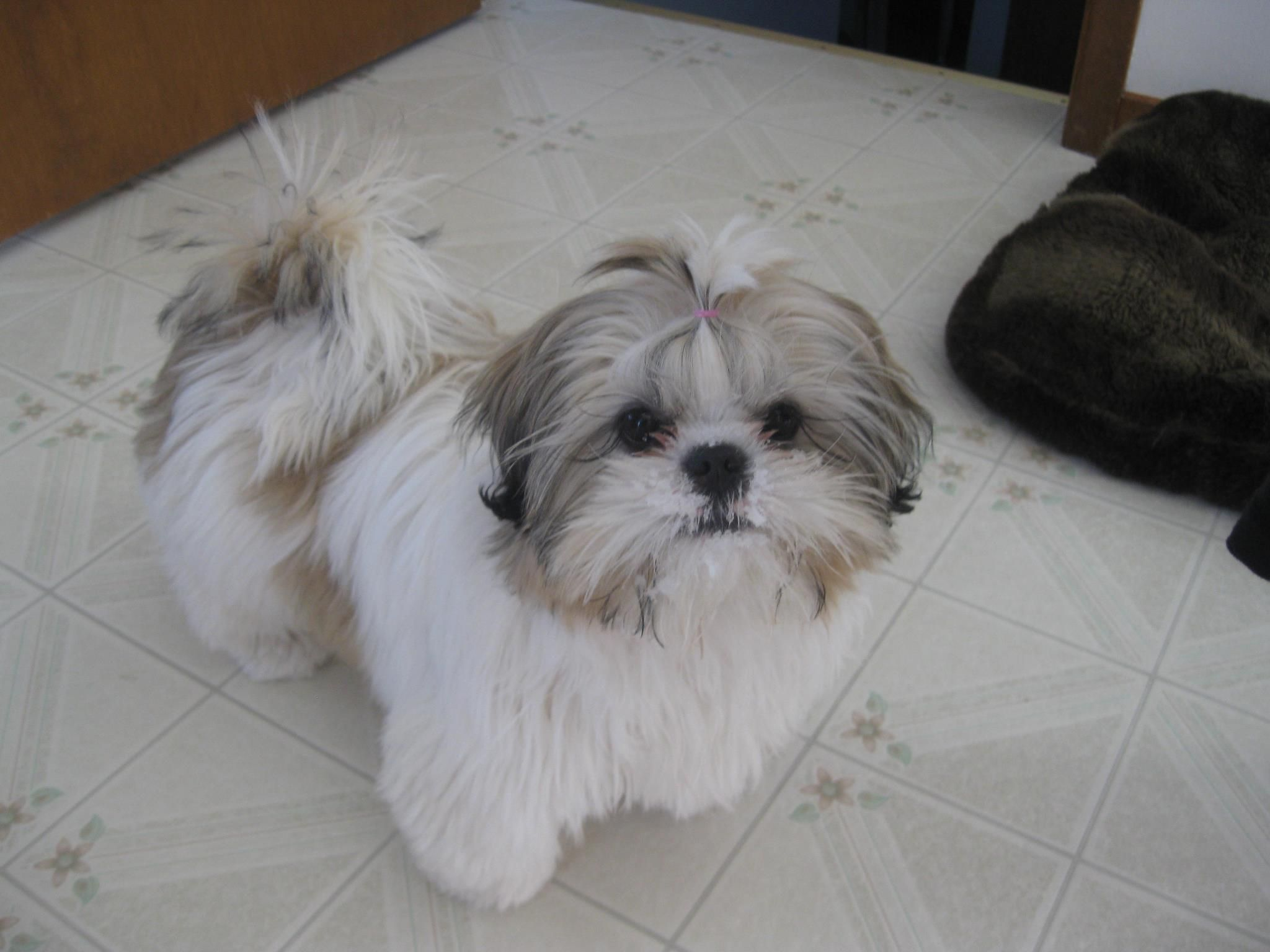 Pin By Jen Ainsworth Opitz On Pups Shih Tzu Shih Tzu Dog Baby Dogs