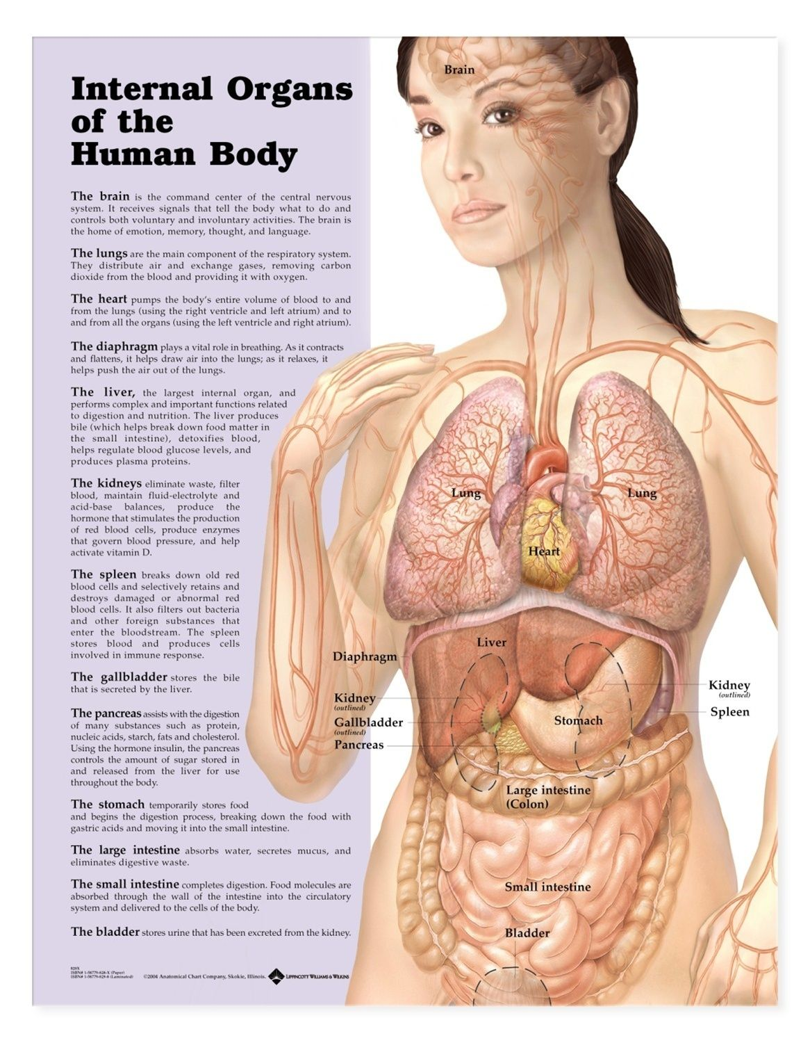Female Human Anatomy Organs - See more about Female Human Anatomy ...