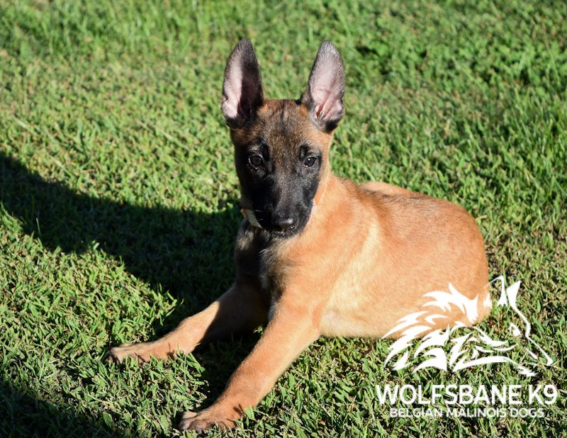 Belgian Malinois Puppies For Sale Wolfsbane K9 Belgian Malinois Belgian Malinois Puppies Malinois Puppies For Sale