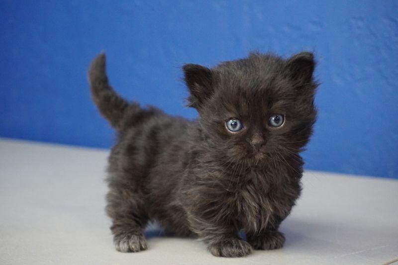 Munchkin Kittens For Sale Buy Munchkin Cat Near Me Cat Breeder Munchkin Kitten Munchkin Cat