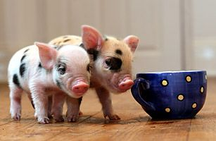 Have you ever wanted to own a pig but found the prospect of living with a 250-lb. (110 kg) hog to be too much of a commitment? Well, then the micro-pig is for you. The adorable little porkers start out at less than a pound and grow to weigh somewhere between 40 lb. and 70 lb. (18 kg and 30 kg) as adults. They don't shed and can be trained to use a litter box.