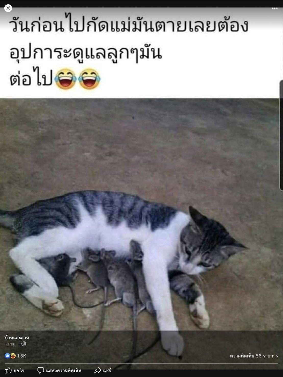 ป กพ นโดย ศ ภช พ ใน แมว แมว