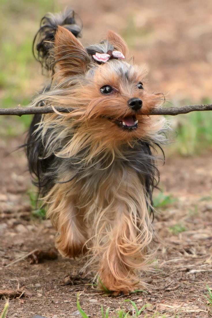 Female Yorkshire Terrier Dog Yorkshireterrier In 2020 Yorkshire Terrier Yorkshire Terrier Dog Terrier