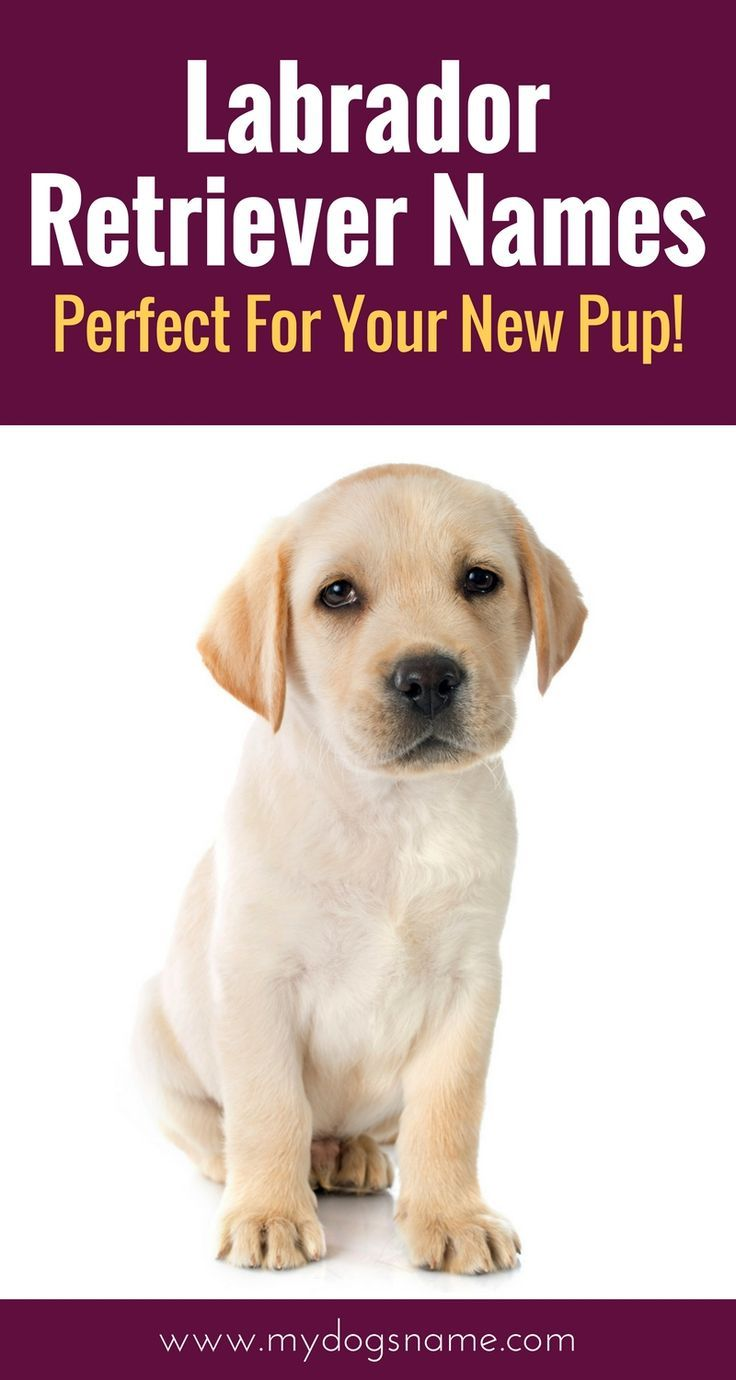 Labrador Names The Ultimate List 225 Great Names Labrador Retriever Labrador Names Labrador