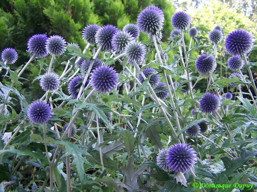 Faire Secher Les Fleurs De Chardons Bleus Cliquez Sur La Photo Pour