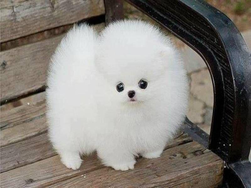White Fluffy Puppy Round | Cute Puppies | Pinterest | Siberian ...