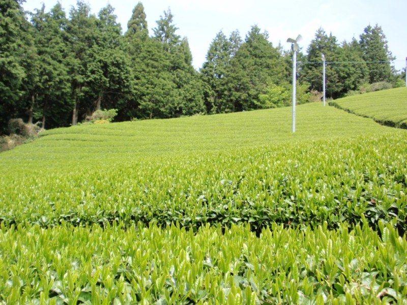 朝宮茶 YAMAMOTOEN CO.,LTD.  #朝宮茶  #山本園  #WITHTEA  #Japan #Tea #Asamiya