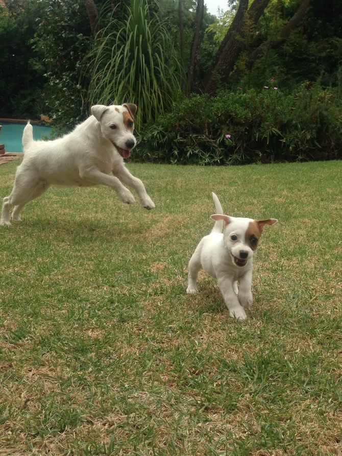Keep a Jack Russell Terrier Happy Jack russell, Jack