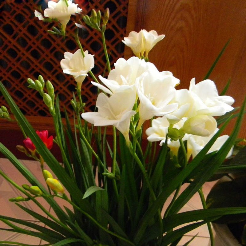 White Freesia Bulbs Potted Flowers Orchids Perennial Flower Seeds 50pcs Ebay Flowers Perennials Flower Pot Garden Flower Pots