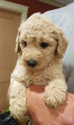 Lovable Labradoodle Puppies Puppies And Dogs For Sale Pets