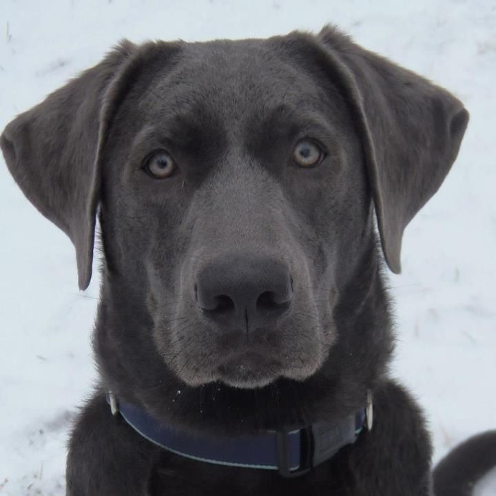 Grayson My Gorgeous Charcoal Lab Dog Pond Silver Lab Puppies