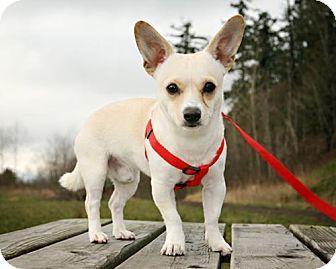 Bellingham Wa Chihuahua Corgi Mix Meet Jasper A Dog For Adoption Http Www Adoptapet Com Pet 14646574 Belling Dog Adoption Corgi Chihuahua Mix Chihuahua