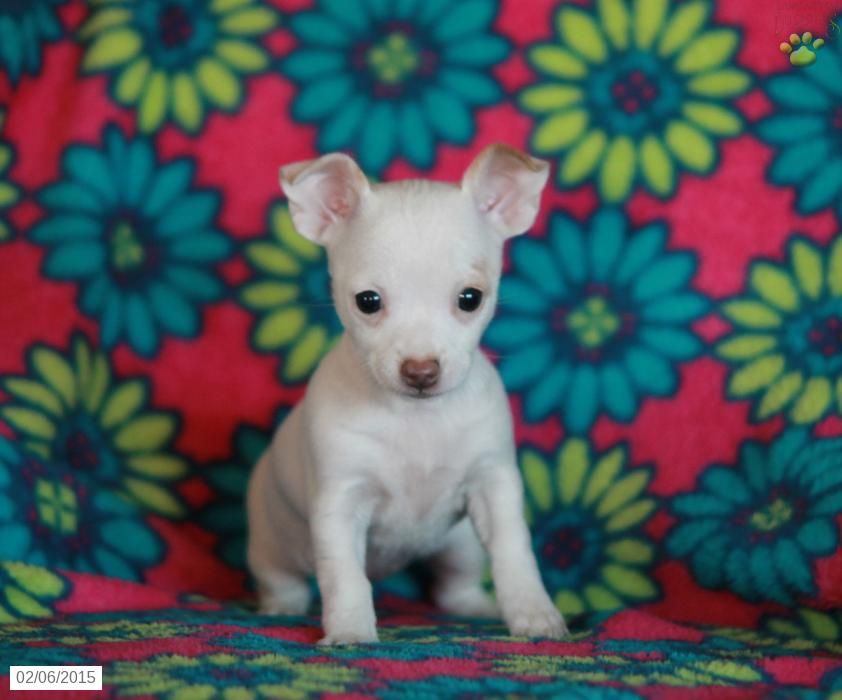 Chihuahua terrier puppy for sale in pennsylvania