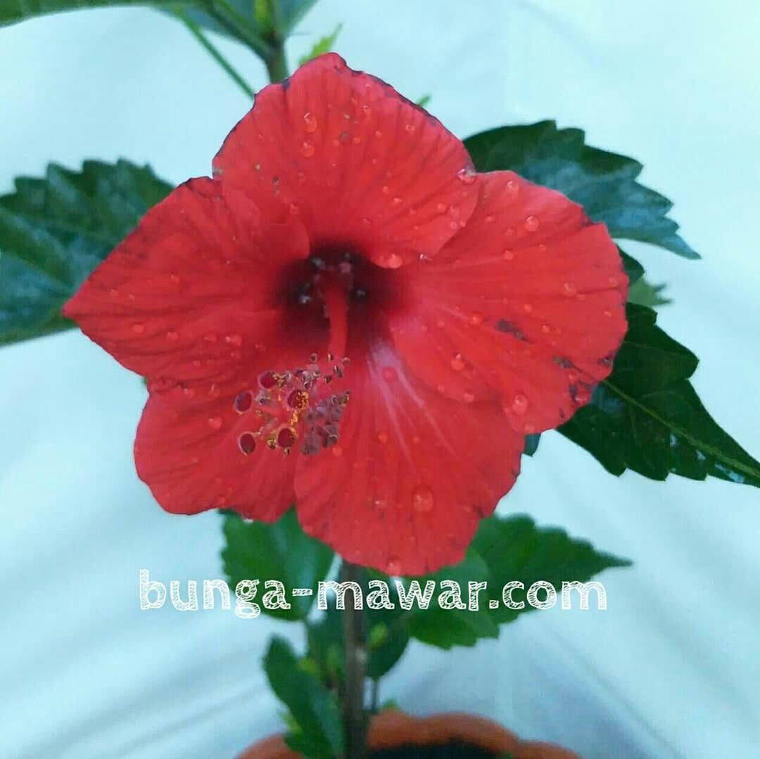 A Red Of Hibiscus Rosa Bunga Kembang Sepatu Bunga Tanaman