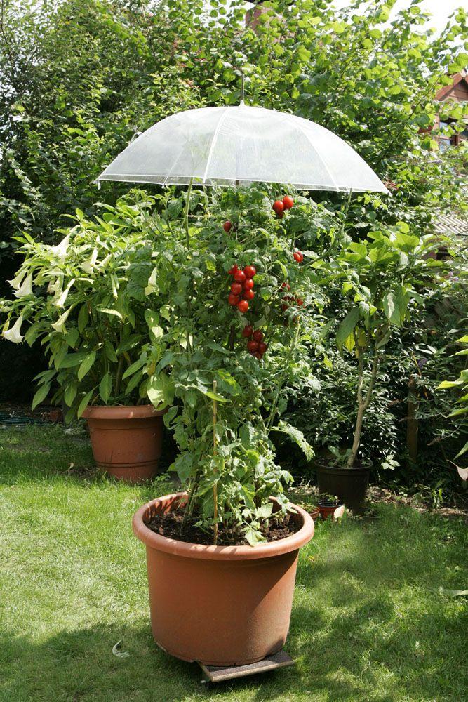 regenschirm ber tomatenpflanze garten pinterest garten garten ideen und gem segarten. Black Bedroom Furniture Sets. Home Design Ideas