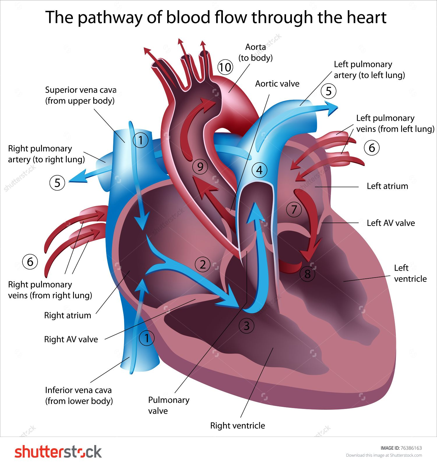 hight resolution of pathway of blood flow through the heart