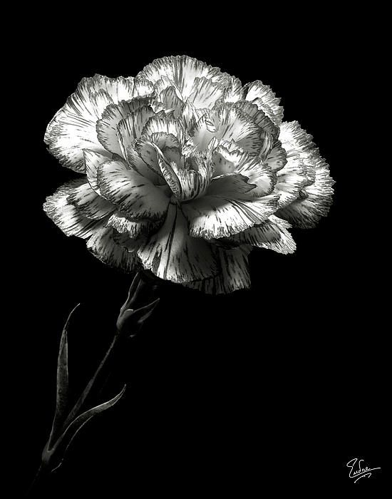 My Favorite Flower Black And White Carnations Carnations Carnation Flower Garden Flower Beds