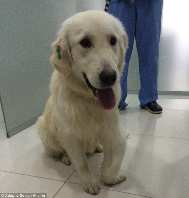 Hero The Golden Retriever Rescued On Turkish Streets By Georgia Family Golden Retriever Golden Retriever Rescue Dog Lovers