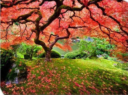 Amazing Japanese maple tree