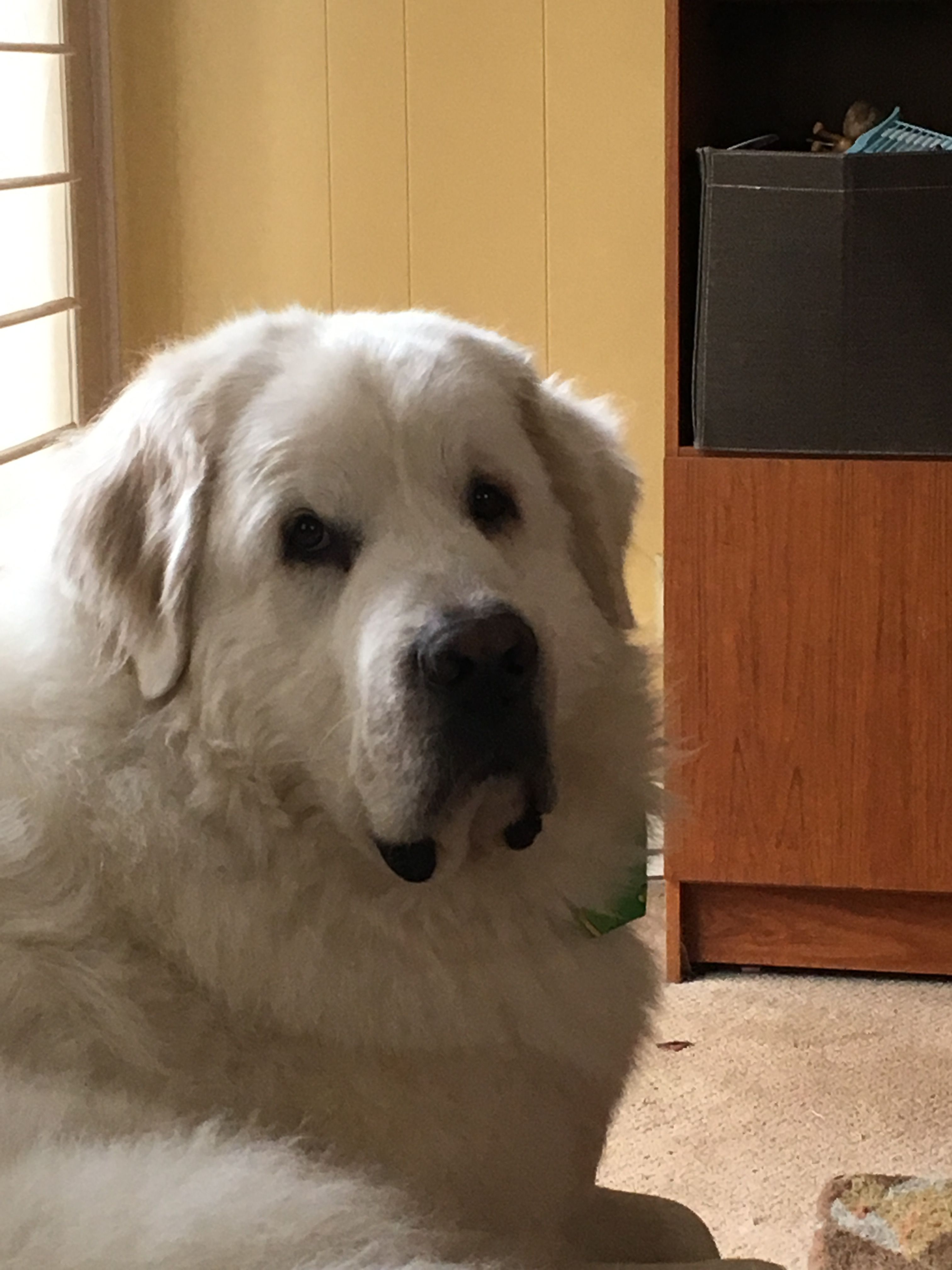 My Great Pry Cain Top Dog Breeds Great Pyrenees Maremma