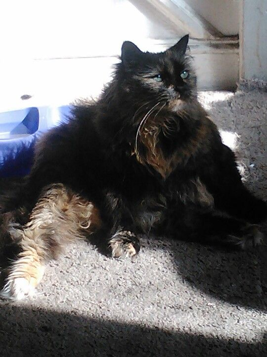 My Pets: Luvey theMaine Coon