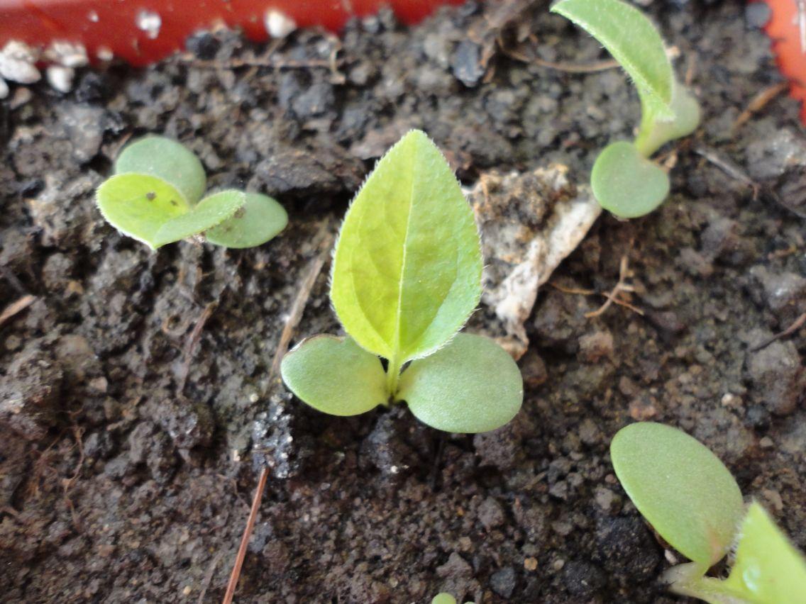 Echinacea Seedlings Echinacea Trees To Plant Seedlings