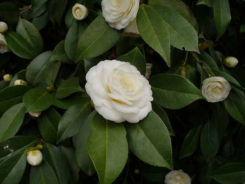 Camellia Japonica White Perfection Variegated Plants Flowers White Flowers