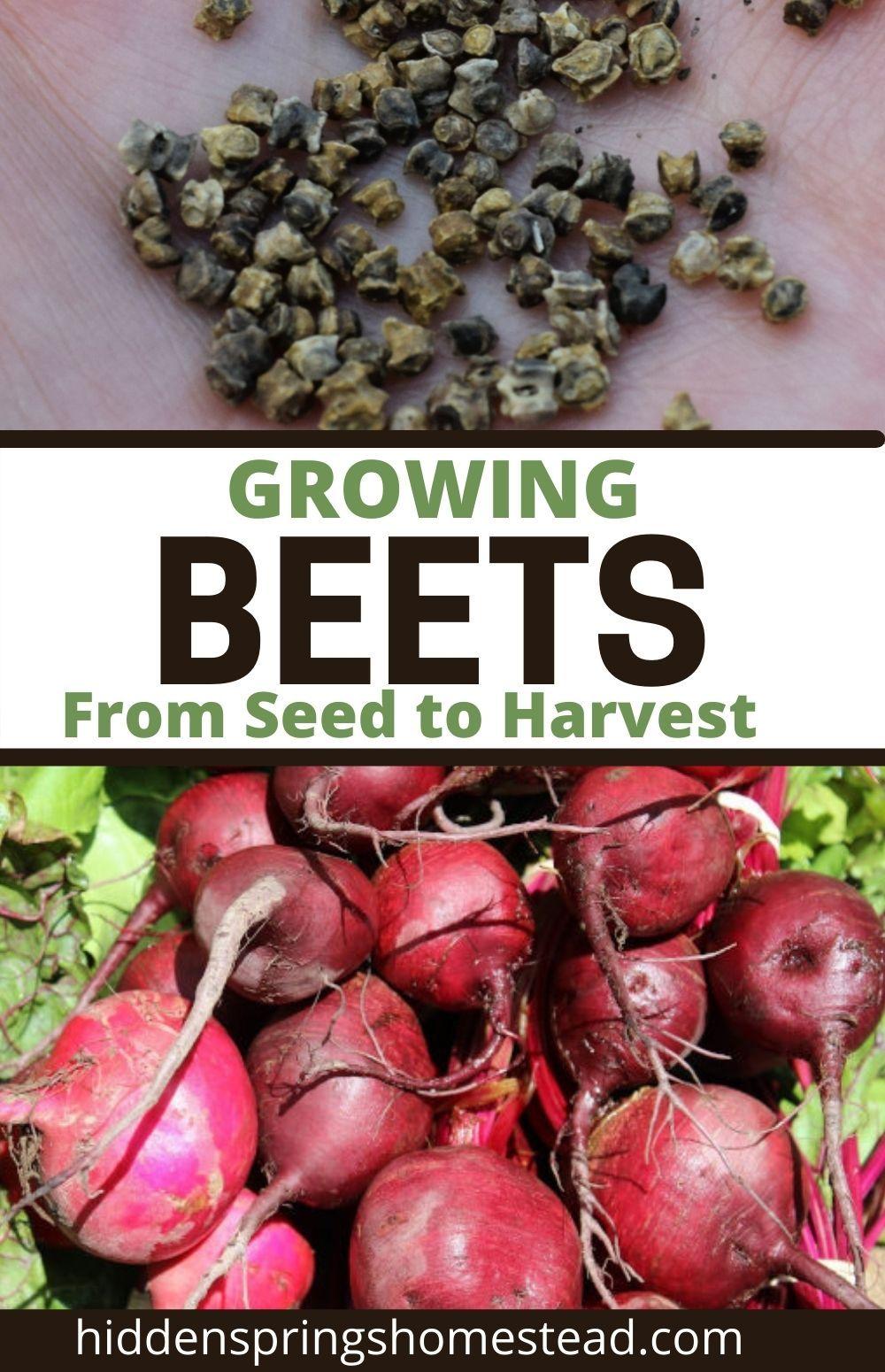 How To Grow Beets In 2021 Growing Beets Beet Seeds Growing Vegetables