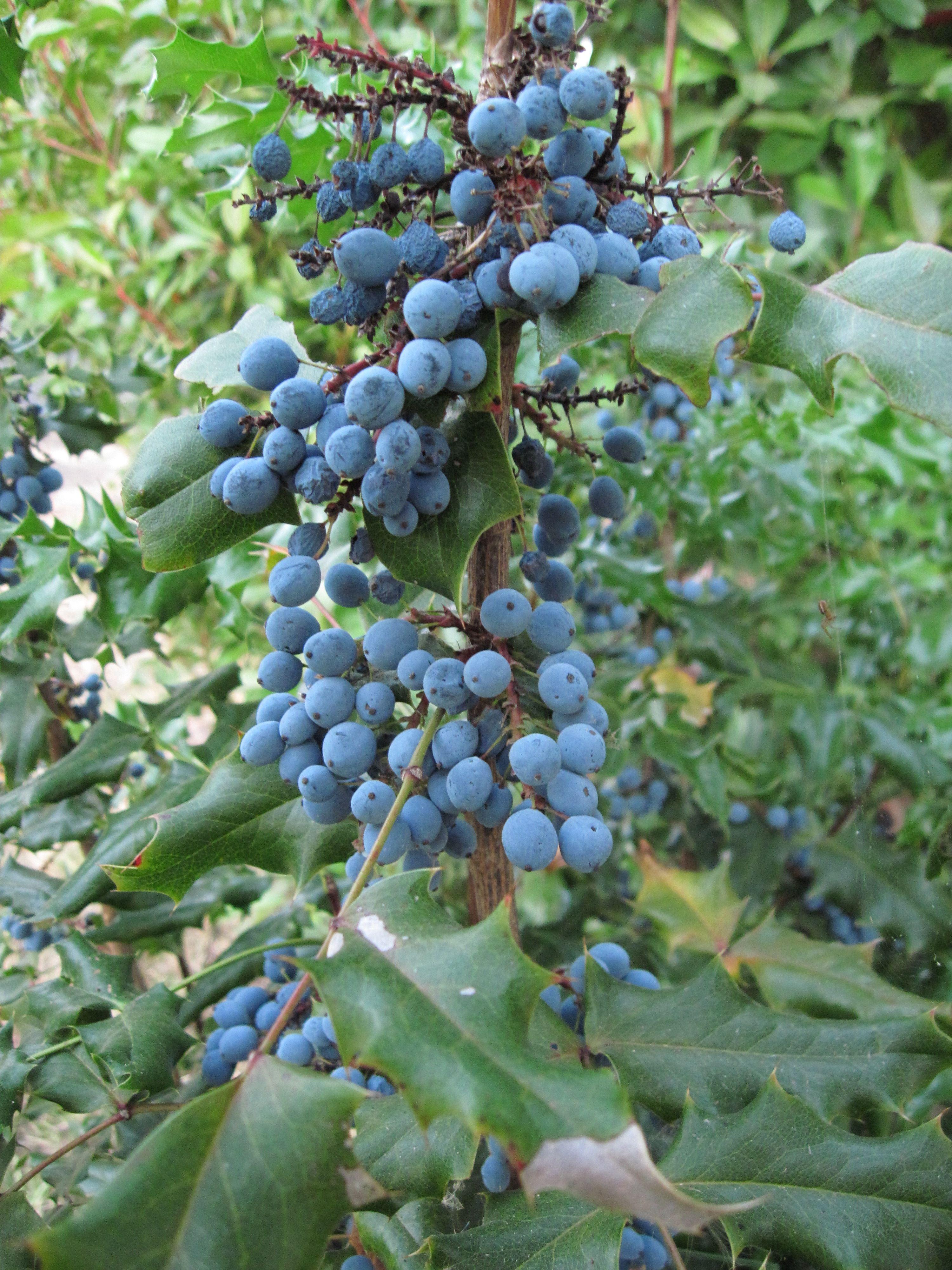oregon grape blinging the yard pinterest oregon grape