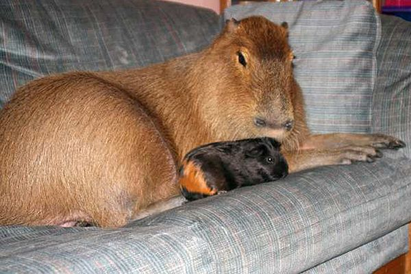 Have you heard about the capybara? They're pretty much overgrown guinea pigs! In fact, they're the world's largest rodent and can grow to be over four feet long and can weigh over 100 pounds. Capybaras are pretty amazing creatures. Though their home is in South America, the whole world has fallen in love with the oversized rodents.